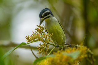 Yellow-rumped_Tinkerbird.jpg