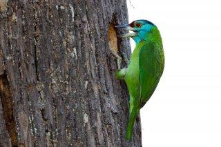 Blue-throated_Barbet.jpg