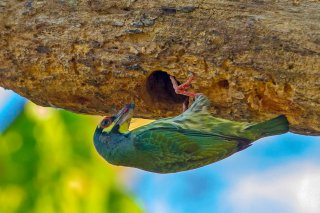 Coppersmith_Barbet.jpg