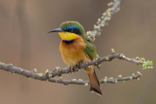 Little_Bee-eater.jpg