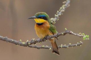 Little_Bee-eater.jpg