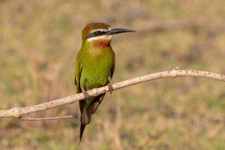 Madagascar-Olive-Bee-eater.jpg