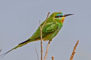 Blue-cheeked_Bee-eater.jpg