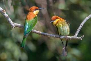 Chestnut-headed_Bee-eater.jpg