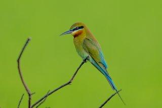 Blue-tailed_Bee-eater.jpg