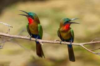 Red-throated_Bee-eater.jpg