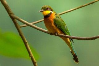 Cinnamon-breasted_Bee-eater.jpg