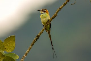 White-throated_Bee-eater.jpg