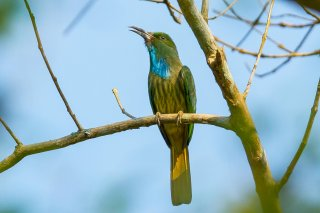 Blue-bearded_Bee-eater.jpg