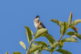 Brown-breasted_Bulbul_-_Pycnonotus_xanthorrhous.jpg