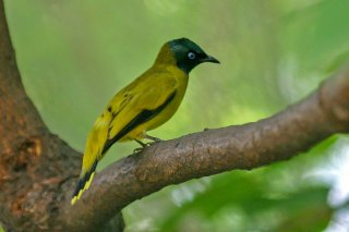 Black-headed_Bulbul.jpg
