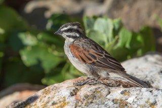 Cape Bunting - Emberiza capensis