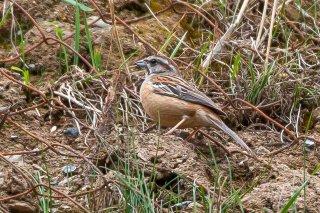 Meadow  Bunting - (Emberiza cioides