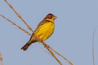 Yellow-breasted Bunting - Emberiza aureola