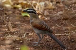 Black-crowned Tchagra - Tchagra senegalus