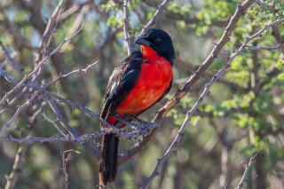 Crimson-breasted Shrike - Laniarius atrococcineus