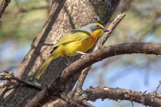 Orange-breasted Bushshrike - Telophorus sulfureopectus