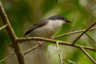 Pink-footed Puffback - Dryoscopus angolensis