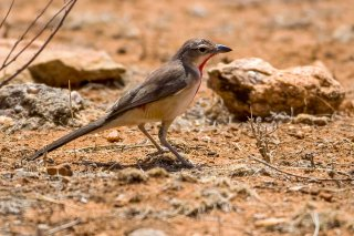 Rosy-patched Bushshrike - Rhodophoneus cruentus