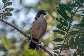 Southern Boubou - Laniarius ferrugineus