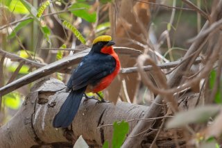 Yellow-crowned Gonolek - Laniarius barbarus