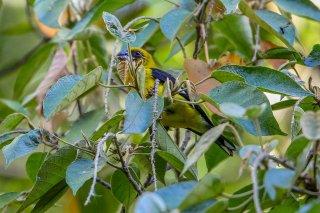 Black-thighed Grosbeak - Pheucticus tibialis
