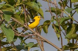 Golden Grosbeak - Pheucticus chrysogaster
