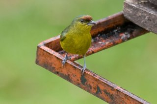 Red-crowned Ant-Tanager (f) - Habia rubica