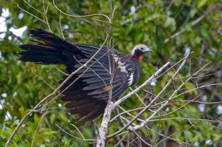 Red-throated_Piping-Guan.jpg