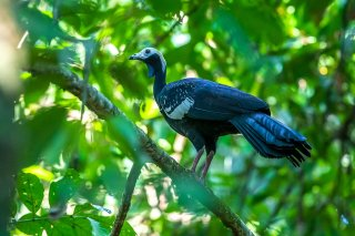Blue-throated_Piping-Guan.jpg