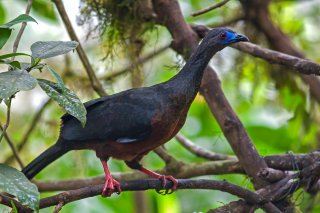 Sickle-winged_Guan.jpg