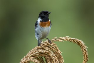 African_Stonechat.jpg