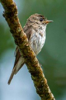 Asian-brown_Flycatcher.jpg