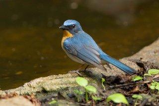 Blue-throated_Blue_Flycatcher.jpg