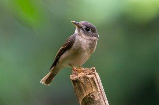 Brown-breasted_Flycatcher.jpg