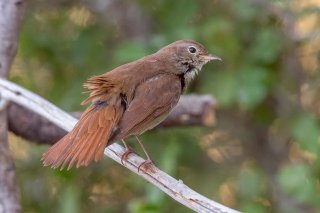 Common_Nightingale.jpg