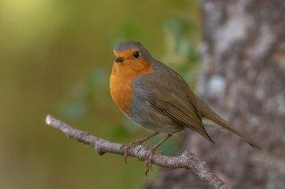 European_Robin.jpg