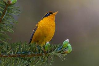 Golden_Bush-Robin.jpg