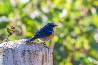 Himalayan_Bluetail_-_Tarsiger_rufilatus.jpg