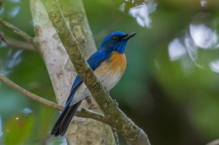 Malaysian_Blue_Flycatcher.jpg