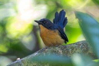 Mangrove_Blue_Flycatcher.jpg