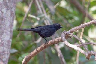 Northern_Black_Flycatcher.jpg
