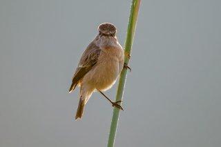Red-breasted_Flycatcher.jpg