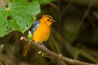 Red-capped_Robin-Chat.jpg