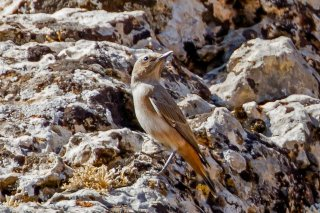 Red-tailed_Wheatear.jpg