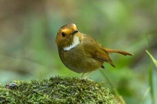 Rufous-browed_Flycatcher.jpg