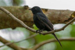 Southern_Black_Flycatcher.jpg
