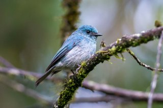 Turquoise_Warbling-flycatcher.jpg