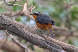 White-browed_Robin-Chat.jpg