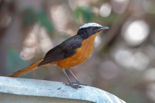 White-crowned_Robin-Chat.jpg